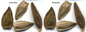Zinnia - Zinnia seeds resemble arrow heads