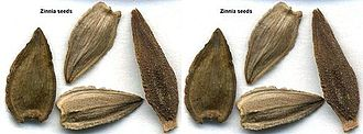 Zinnia - Zinnia seeds resemble arrow heads