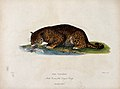 Zoological Society of London; a panther drinking from a stre Wellcome V0023113.jpg