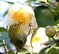 Zosterops japonicus and Camellia japonica.JPG