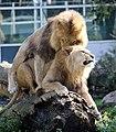 Zwei junge maennliche Loewen Panthera leo Tierpark Hellabrunn-5.jpg