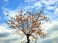 """A tree in autumn season"".JPG"