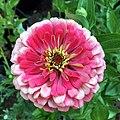 'Benary's Giant Carmine Rose' zinnia IMG-3825.jpg