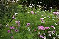 'Cosmos' cultivar bed in the Walled Garden at Goodnestone Park Kent England 2.jpg