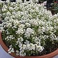 'Giga White' alyssum IMG 5062.jpg