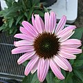 'Prairie Splendor Deep Rose' blush pink form echinacea purpurea IMG 4919-white.jpg