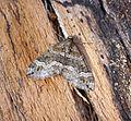 (1804) Barred Rivulet (Perizoma bifaciata) (19832413910).jpg