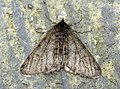 (1926) Pale Brindled Beauty (Phigalia pilosaria) (8320890187).jpg