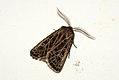 (2178) Feathered Gothic (Tholera decimalis) (3855318610).jpg