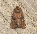 (2302) Brown Rustic (Rusina ferruginea) (14300086775).jpg