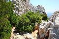 (Gemeine, gemein stechende, borststipflige) Stech-Eiche (Quercus coccifera).jpg