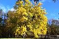 Багатовікова шовковиця осінь село Межиріч Лебединський район.jpg