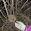 Гнездо кукушки.jpg