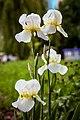 Квіти - Півники. Фото 2.jpg