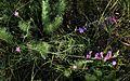 Крейдяні відслонення Astragalus varius.jpg