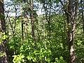 Липова пономарка - лісовий заказник біля села Липове у Талалаївському районі.jpg