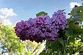 Національний ботанічний сад ім. М.Гришка Бузок 05.JPG