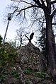 Орел в Курортном парке, Кисловодск.JPG