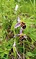 Офрис пчелоносная - Ophrys apifera - Bee orchid - Пчелоносно бръмбарче - Bienen-Ragwurz (35280555465).jpg