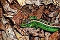 Скелі Довбуша Самець ящірки прудкої DSC 0589.jpg