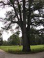Старі дерева парку.jpg