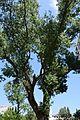 Тополя чорна, ботанічний пам'ятник природи місцевого значення (м. Одеса, Шампанський провулок).jpg