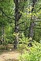 Черная береза. Раифский дендрарий. Зеленодольский р-н. РТ. Июль 2014 - panoramio.jpg
