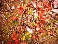 شکوفههای سرخ.JPG