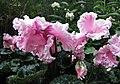 仙客來-重瓣 Cyclamen persicum -新加坡濱海灣花園 Gardens by the Bay, Singapore- (24678591029).jpg