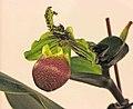 兜蘭屬 Paphiopedilum victoria-regina -台南國際蘭展 Taiwan International Orchid Show- (26028599807).jpg