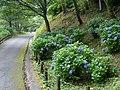 吉野山にて 七曲りのあじさい Hydrangea in Yoshinoyama 2011.7.02 - panoramio (6).jpg
