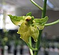 報歲南海素奇 Cymbidium sinense 'South-Sea Plain Odd' -香港沙田國蘭展 Shatin Orchid Show, Hong Kong- (12204558025).jpg