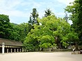 大山祇神社の大楠-Oyamazumi Shrine's camphor - panoramio.jpg