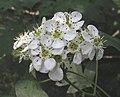 山楂 Crataegus pinnatifida -瀋陽植物園 Shenyang Botanical Garden, China- (9227095813).jpg