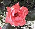 月季-桔紅女王 Rosa chinensis -瀋陽世博園 Shenyang Expo Gardens, China- (11237610413).jpg