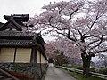 本善寺門前にて 吉野町飯貝 2013.4.01 - panoramio.jpg