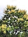 柚木 Tectona grandis 20210907093544 11.jpg