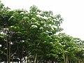 油桐樹 - panoramio.jpg