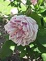 法國玫瑰(Gallica rose) Rosa Gros Provins Panache -巴黎植物園 Jardin des Plantes, Paris- (45922829184).jpg