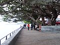淡水榕堤 Damsui Banyan Bank - panoramio.jpg