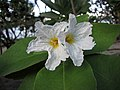 破布木屬 Cordia boissieri -新加坡濱海灣花園 Gardens by the Bay, Singapore- (24994085886).jpg