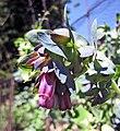 紫蘆筍 Asparagus officinalis 'Purple' -澳洲 Heronswood Gardens, Australia- (10801618533).jpg