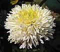 菊花-流善 Chrysanthemum morifolium -香港雲泉仙館 Ping Che, Hong Kong- (11994865503).jpg