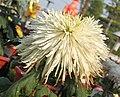 菊花-管盤型 Chrysanthemum morifolium Plate-tubular-series -中山小欖菊花會 Xiaolan Chrysanthemum Show, China- (9237445045).jpg