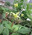 鎮坪淫羊藿 Epimedium ilicifolium -比利時 Ghent University Botanical Garden, Belgium- (9216131016).jpg