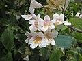 雙盾木 Dipelta floribunda -巴黎植物園 Jardin des Plantes, Paris- (9190649899).jpg