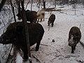 雪乡风光-雪地里的野猪 - panoramio.jpg