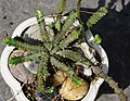 飛龍 Euphorbia stellata Willd. - panoramio.jpg