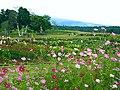 黒姫高原のコスモス (Kurohime Plateau Cosmos Garden) 19 Sep, 2010 - panoramio.jpg