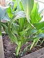 -2020-07-13 Sweet corn plants (Zea mays), Trimingham, Norfolk.JPG